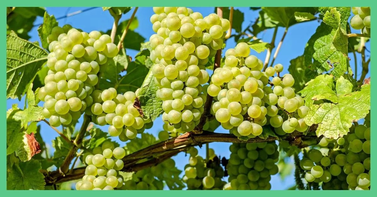 Some green grapes hanging off a tree. It is being used in an article about foods to freeze.