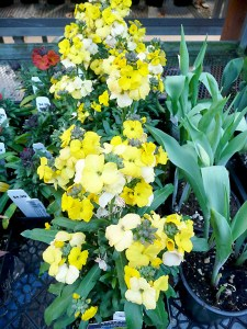 The yellow flowers of erysimum or wall flower can bring color to a garden for nine months of the year. The plants have been found in the loose mortar of stone or brick walls, hence the name. (Janet Goetze)