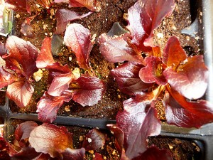 Petite Rouge is a colorful lettuce variety. Lettuce is a popular vegetable for Portland gardens and patio pots, said Lori Vollmer, co-owner of Garden Fever nursery. (Janet Goetze)