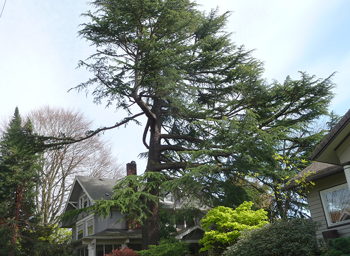Bob Wagner's gigantic cedar lost a big limb in December, but he and his arborist decided to save it. With one long branch extending from a side, he said, 'We're going for a little of the Monterey coastal pine look but on a little larger scale.' (Janet Goetze)