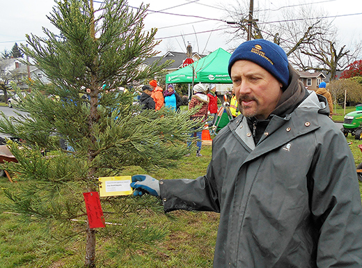Urban Forestry Consultant Jim Gersvach checks out tag on a giant sequoia, one of 23 trees planted March 12, between Northeast Failing and Beech streets on Northeast 72nd Avenue's Roseway Parkway. About 50 residents worked with city employees to replant the 440-foot green median with a variety of trees designed to last longer and protect the ground and sewer from excess rainwater runoff. (Phill Colombo)