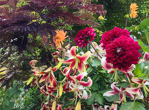 This plant combination features a dark-foliaged silk tree (Albizia julibrissin or Summer Chocolate), Lilium 'Scheherazade', and a crimson dahlia. (Darcy Daniels)