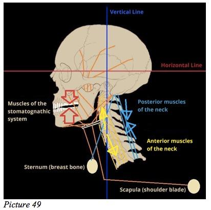 Stomatognathic skull