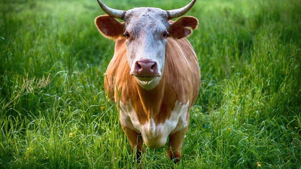 lebih utama qurban sapi atau kambing Star Farm