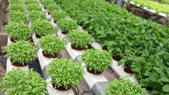 nutrisi untuk tanaman hidroponik
