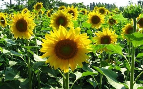 manfaat-bunga-matahari-star-farm