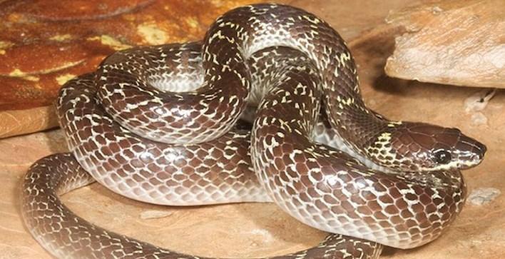 ular peliharaan tidak berbisa