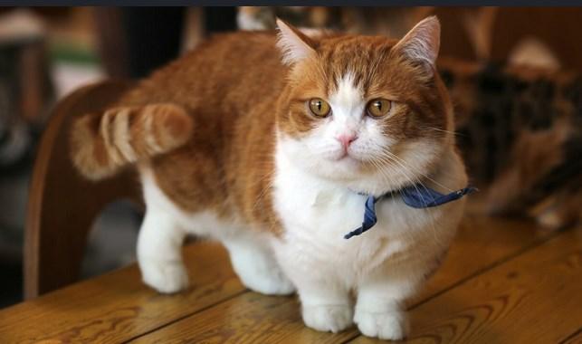 jenis kucing hias munchkin