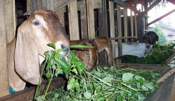 ramuan cara menggemukkan kambing