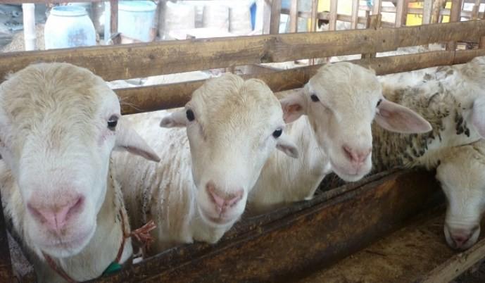cara memilih indukan domba