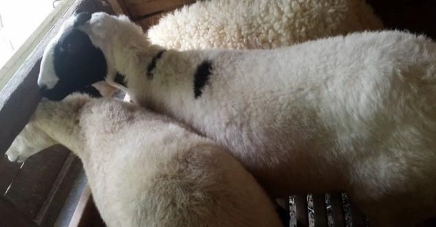 cara ternak domba bagi pemula