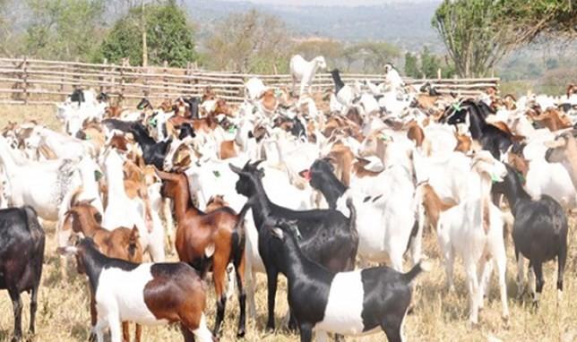 kambing-kecil-afrika-selatan-star-farm