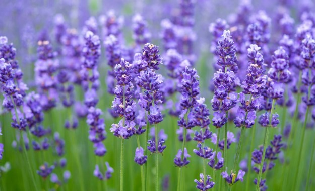 lavender-star-farm