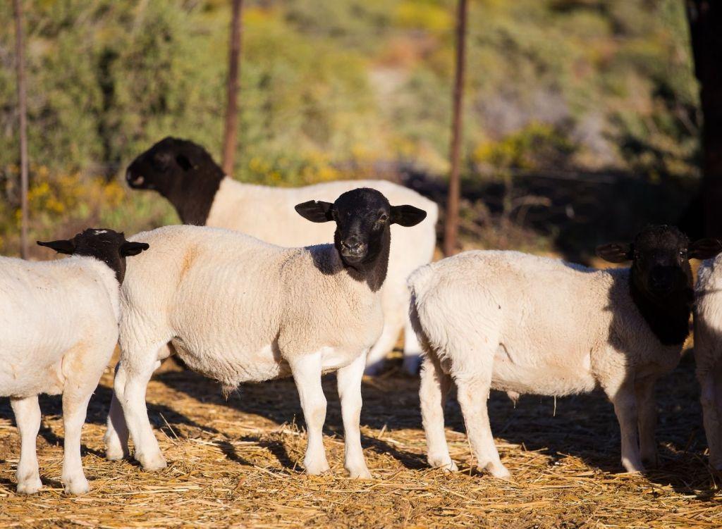 Keunggulan Domba Dorper