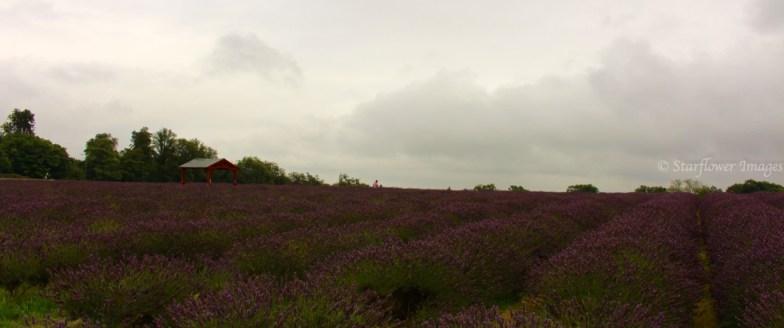 Lavender fieldIMG_2569_1024