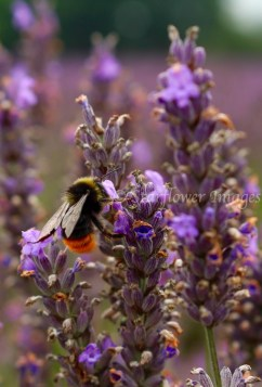 Lavender fieldIMG_2583_1024