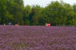 Lavender fieldIMG_2607_1024