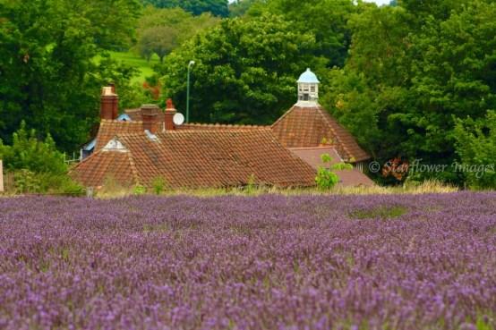 Lavender fieldIMG_2616_1024