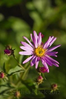MtRainer_Wildflowers-web-6901