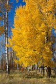 Aspen Golds at Camas Praire