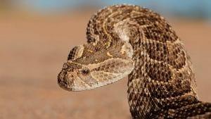 Puff adder raising its head