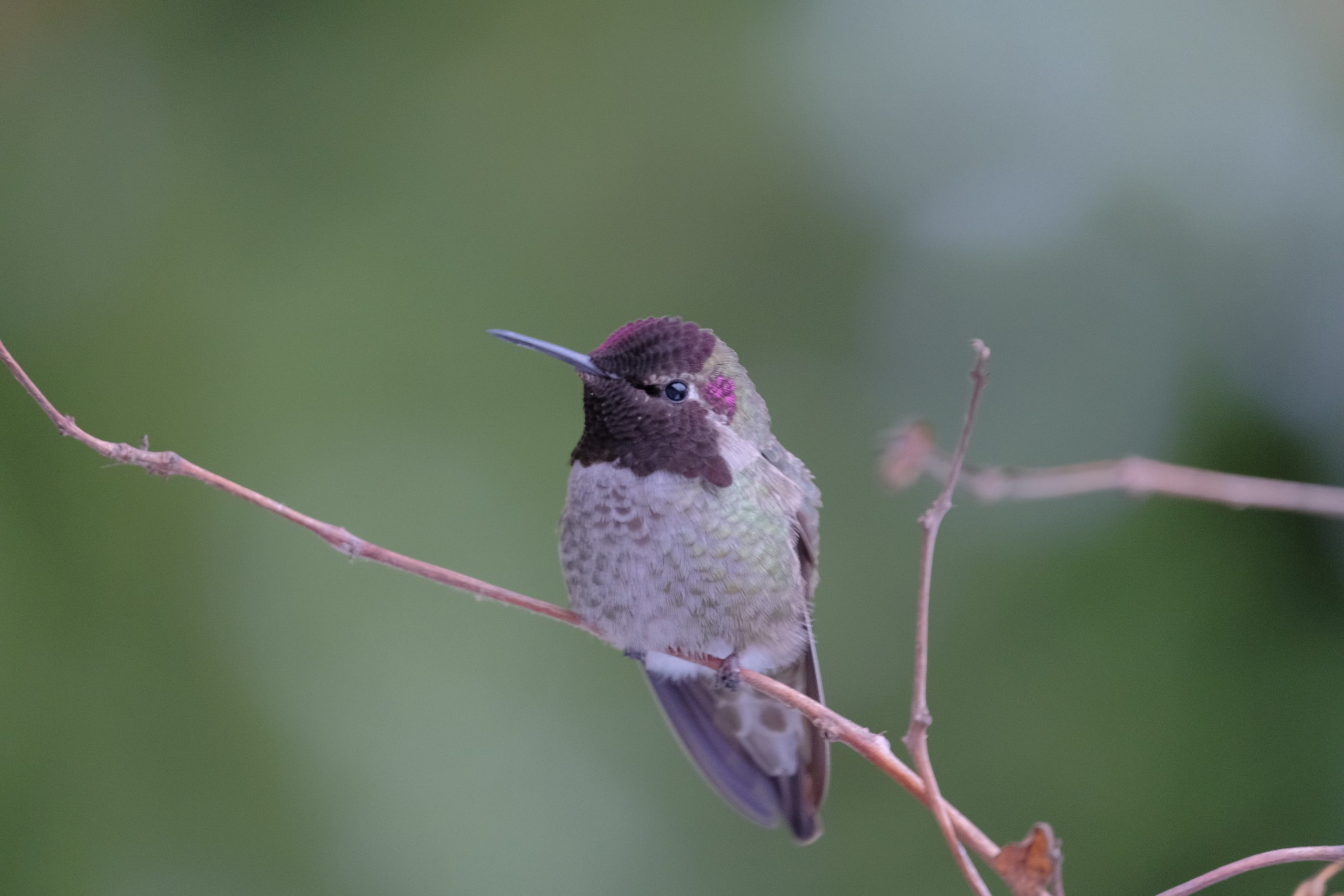 Hummingbird 13 Feb. 2021 Oregon Copyright Steve J Davis