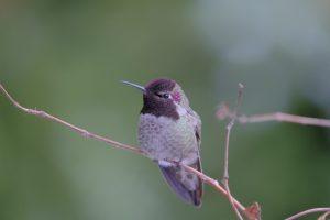 Hummingbird 13 Feb. 2021 Oregon Copyright Steve J Davis