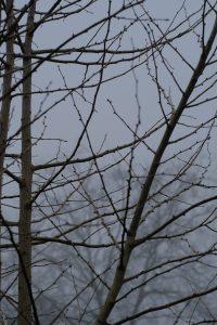 Early Morning Fog Ginkgo Tree 2 March 2021 Oregon Copyright Steve J Davis