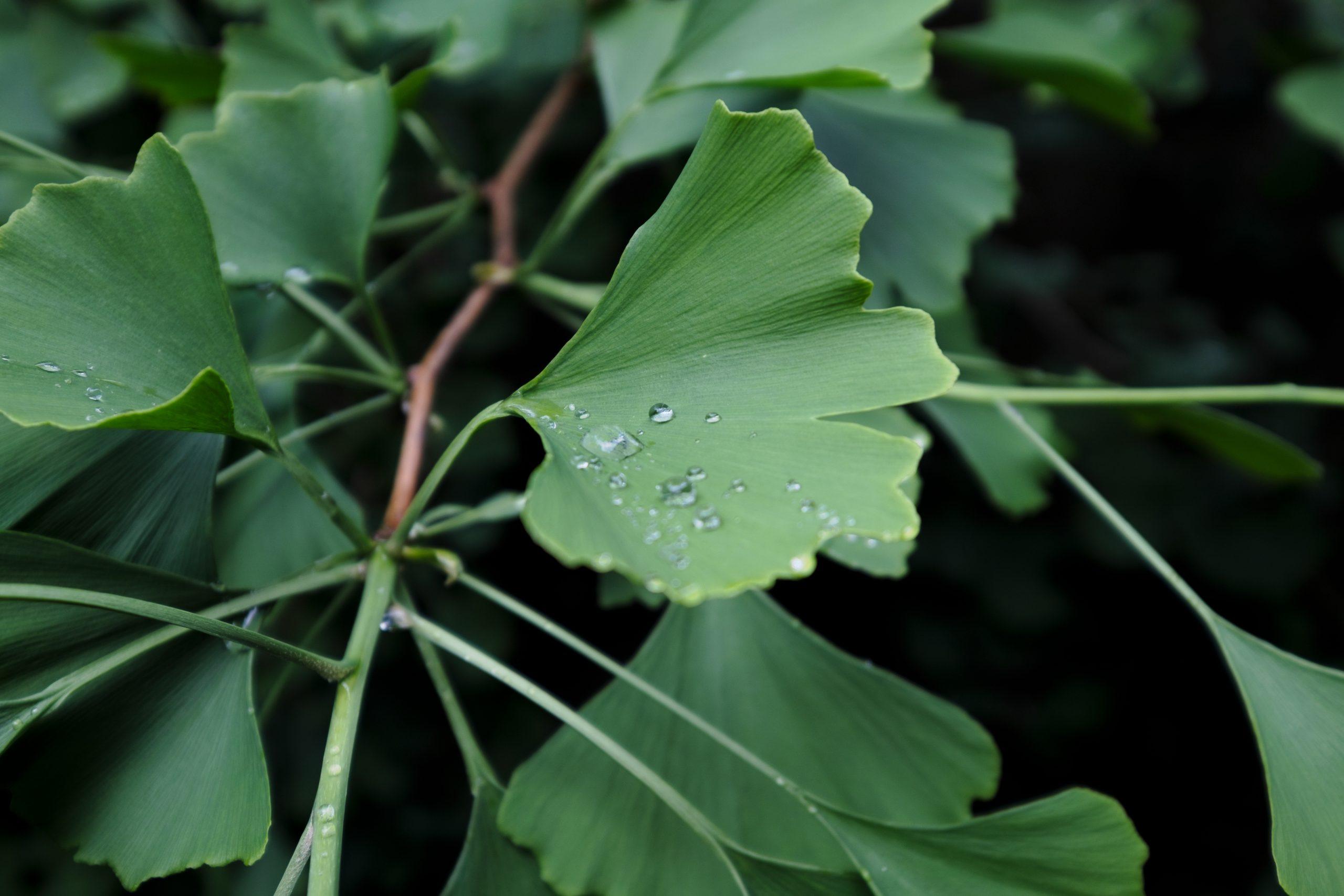 Ginkgo Leaves with Raindrops Oregon 25 May 2021 Copyright Steve J Davis