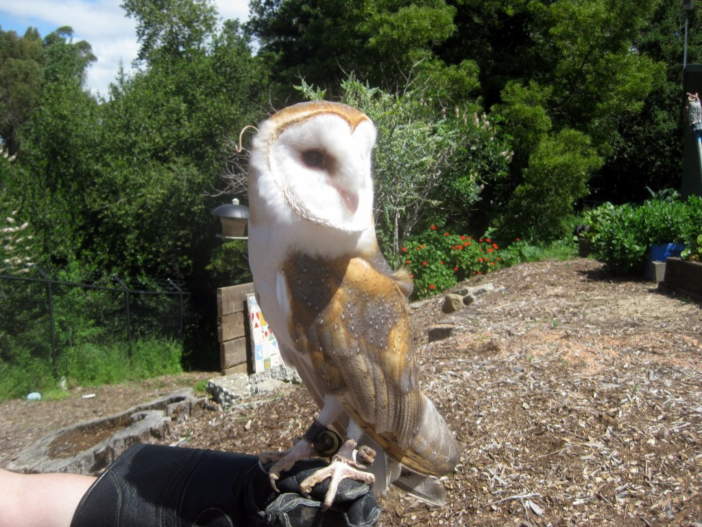 Animals for the kids (barn owl from Sulphur Creek)