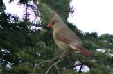 CardinalIMG_8539
