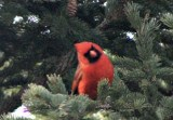 CardinalIMG_8544