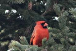CardinalIMG_8546