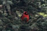 Cardinal in hiding