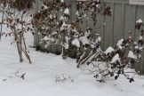 Snow laden azalea