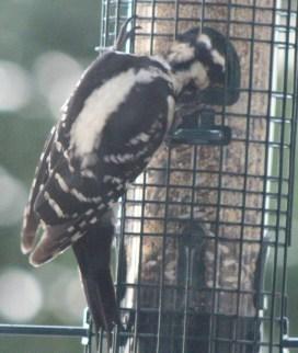 Woodpecker8