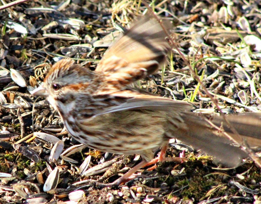 Ground feeding song sparrows