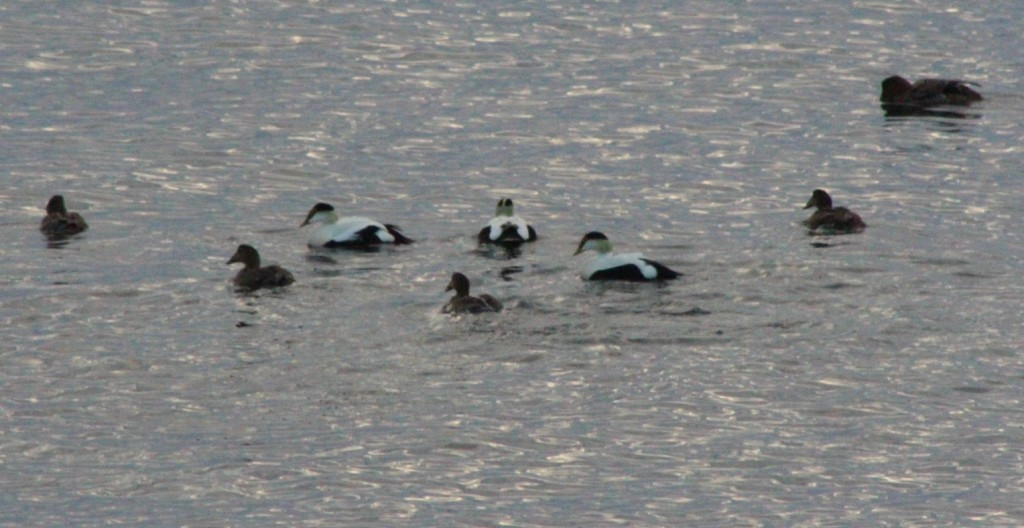 Eiders, eiders everywhere