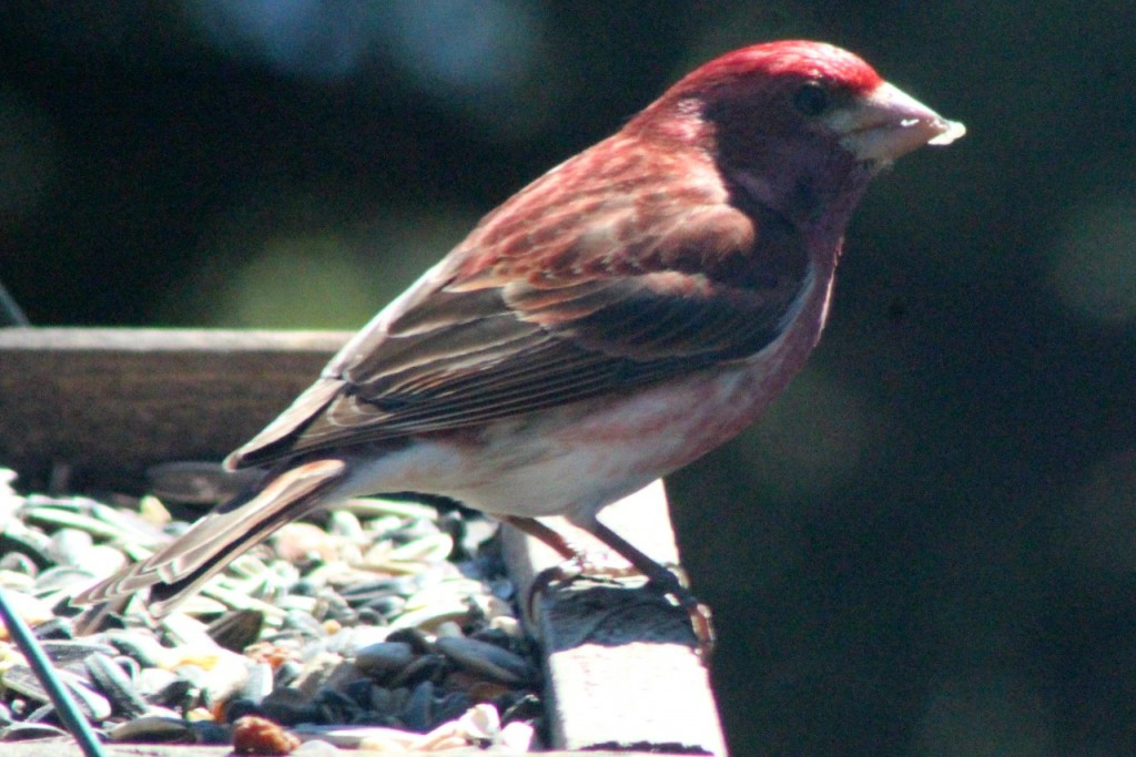House finch came back!