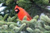 Impatient cardinal