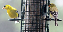Goldfinches unite