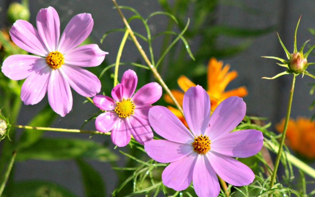 Summer cosmos in all their glory