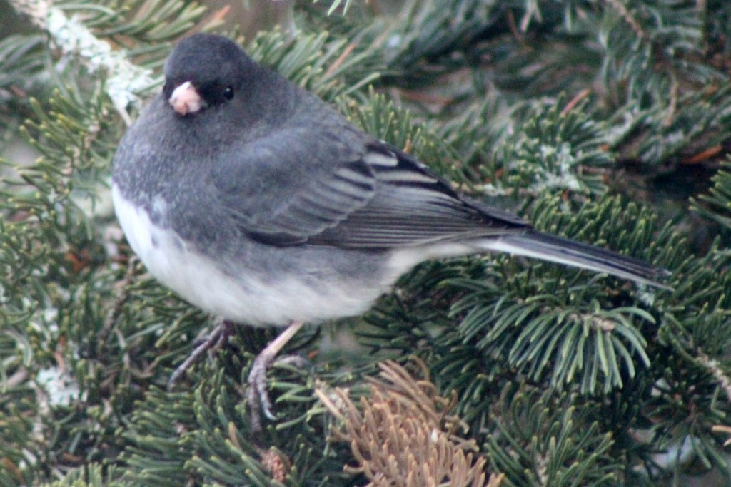 The trees and feeders are full of juncos!
