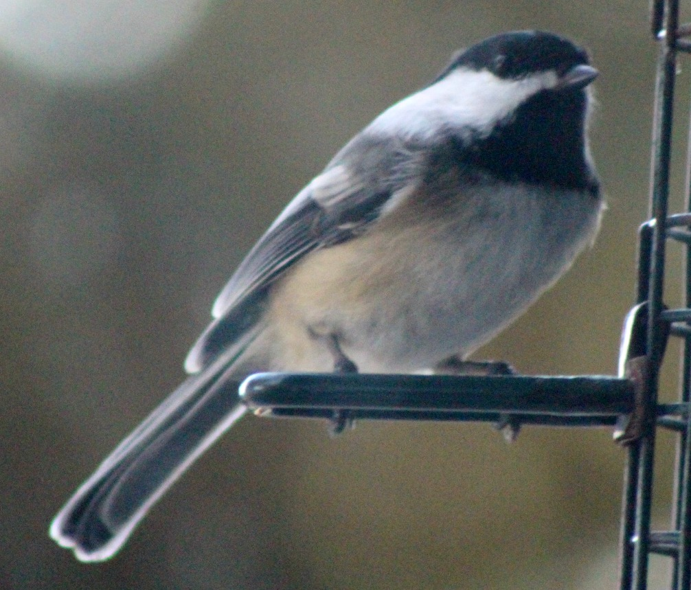 The trees were full of chickadees
