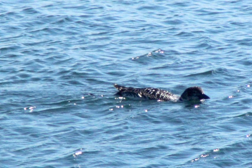 Then there was this single loon, cruising like a battleship