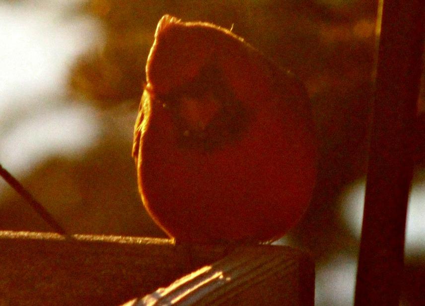 Cardinals lit by harsh sunrise sunlight