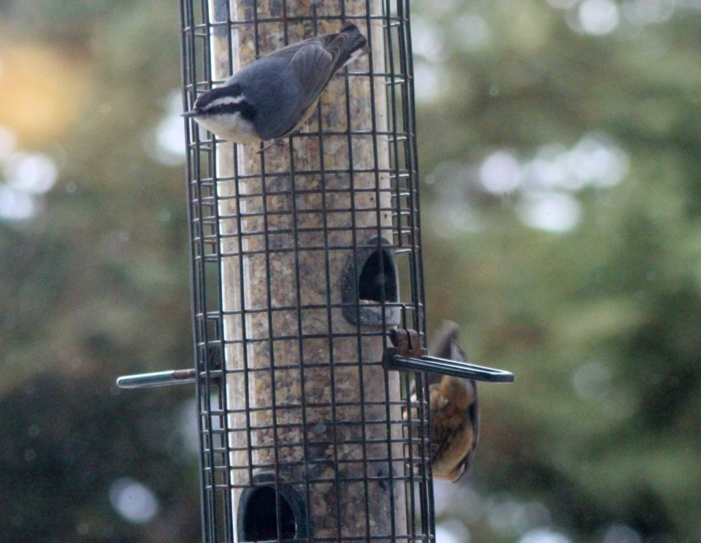 Two nuthatches at the same time!