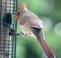 Cardinal17
