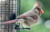 Cardinal20