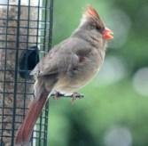 Cardinal21